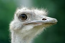 Free Ostrich Royalty Free Stock Photography - 2791247