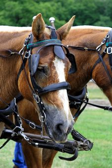 Free Belgian Draft Horse Stock Photo - 2791760