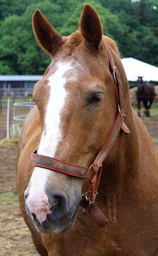 Free Belgian Draft Horse Royalty Free Stock Photo - 2791785