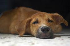 Free Brown Puppy Sleeping Royalty Free Stock Photo - 2794025