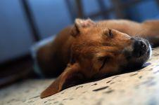 Free Brown Puppy Sleeping Royalty Free Stock Photos - 2794048