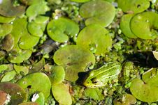 Free Frog At Water Royalty Free Stock Photography - 2796417