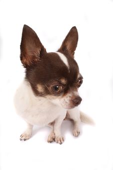 Free Chihuahua Royalty Free Stock Photography - 2798817