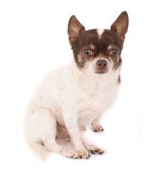 Free Chihuahua Stock Image - 2798821