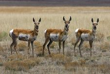 Free Antelope All Together Now Royalty Free Stock Image - 2798976