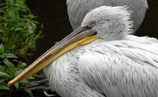 Free Pelican Stock Photography - 2798982