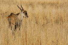 Eland,antelope Stock Photography