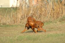 Free Rhodesian Ridgebacks Playing Stock Image - 2799311