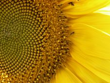 Free Sunflower Close Up Stock Image - 2799501