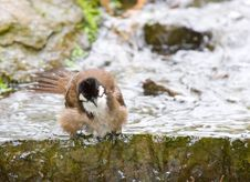 Bathing Bird Stock Photo