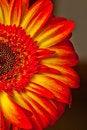 Free Sunburst Gerbera Flower Royalty Free Stock Image - 27900286