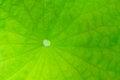 Free Core Lotus Leaf Royalty Free Stock Images - 27908559