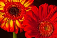 Free Two Gerberas Royalty Free Stock Photos - 27900308