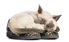 Two Oriental Shorthair Kittens Lying Royalty Free Stock Photo