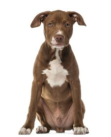 American Staffordshire Terrier Puppy Royalty Free Stock Images