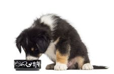 Australian Shepherd Puppy, 2 Months Old, Sitting Stock Image