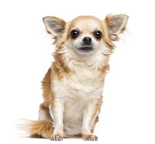 Free Chihuahua, 10 Years Old, Sitting And Looking Royalty Free Stock Images - 27901089