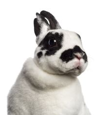 Free Close-up Of Dalmatian Rabbit Stock Image - 27901091