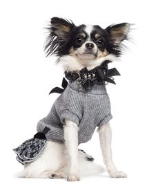 Free Chihuahua, 3.5 Years Old, Sitting, Dressed Royalty Free Stock Photography - 27901097