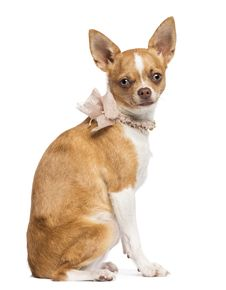 Free Chihuahua, 7 Months Old, Wearing Lace Collar Royalty Free Stock Photo - 27901105