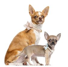 Free Two Chihuahua Puppies, 4 And 7 Months Old Royalty Free Stock Image - 27901116