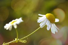 Free Daisy Royalty Free Stock Images - 27901779