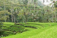 Free Tropical Setting With Rice Terraces Royalty Free Stock Photos - 27902048