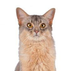 Free Somali  Cat Head Portrait Isolated On White Stock Image - 27905231