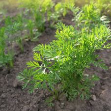 Free Young Carrot Plants Royalty Free Stock Image - 27908686
