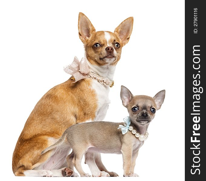 Two Chihuahua Puppies 4 And 7 Months Old Free Stock Images