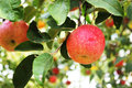 Free Red Apple Hanging In The Tree Stock Photography - 27911192