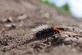 Free She-bear Caterpillar &x28;Arctia Caja&x29; Royalty Free Stock Photography - 27912527