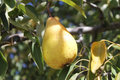 Free Pear In A Tree Stock Photos - 27913453