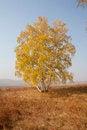 Free Autumn Birch Stock Photo - 27919070