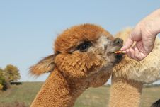 Free Young Alpaca Receiving A Carrot Treat Royalty Free Stock Photos - 27911148
