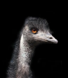 Free Emu Head Against A Black Background Stock Photography - 27911542