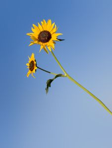 Free Isolated Sunflower Stock Image - 27912001