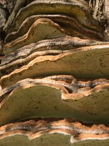 Free Tinder Fungus Or Hoof Fungus Royalty Free Stock Photo - 27913465