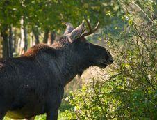 Free Eurasian Elk Stock Image - 27913471