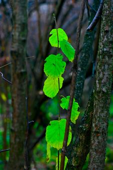 Last Green Leaves In The Autumn Forest Stock Photography