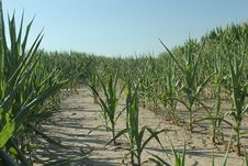 Free Cornfield In Draught Stock Photos - 27914223