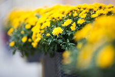 Free Beautiful Yellow Chrysanthemums Flowers Stock Images - 27915624