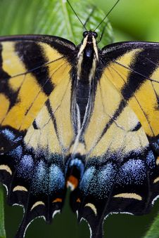 Free Citrus Swallowtail Butterfly Royalty Free Stock Image - 27915916