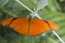 Free Banded Orange Butterfly Stock Photos - 27915923