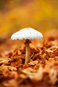 Free Mushroom Over Of Carpet Of Leaves Stock Images - 27918694