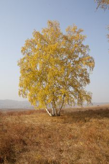 Free Autumn Birch Stock Photo - 27919070