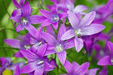 Free Purple Meadow Campanula Bell Flowers Royalty Free Stock Photos - 27919558