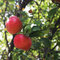Free Two Red Apples On A Tree Royalty Free Stock Image - 27911206