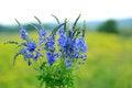 Free Blue Wildflowers Royalty Free Stock Photos - 27922788