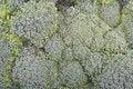 Free Broccoli Background Royalty Free Stock Photo - 27924885